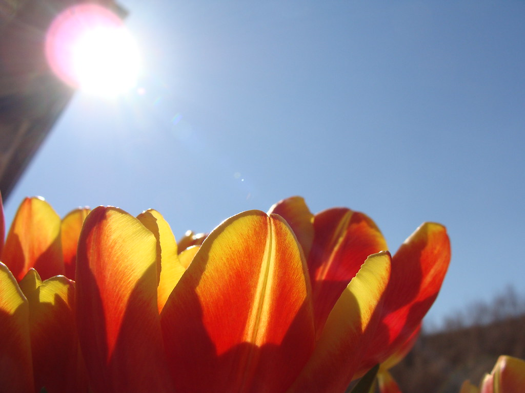 Wife's birthday tulips against the sky