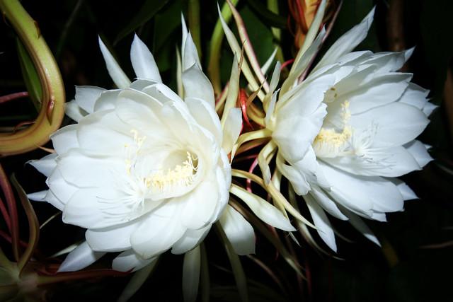 regina della notte, fiore, green galletti, giardino