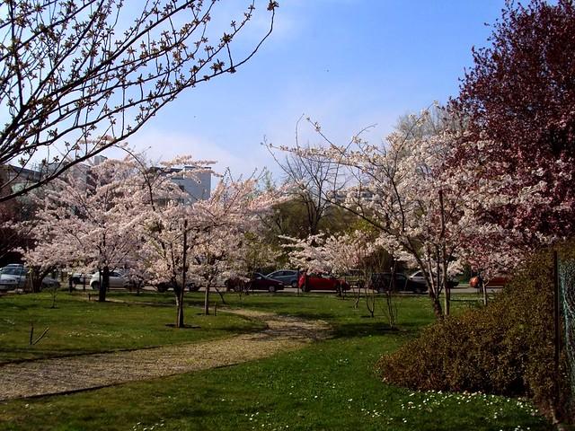 Sakura in Budapest