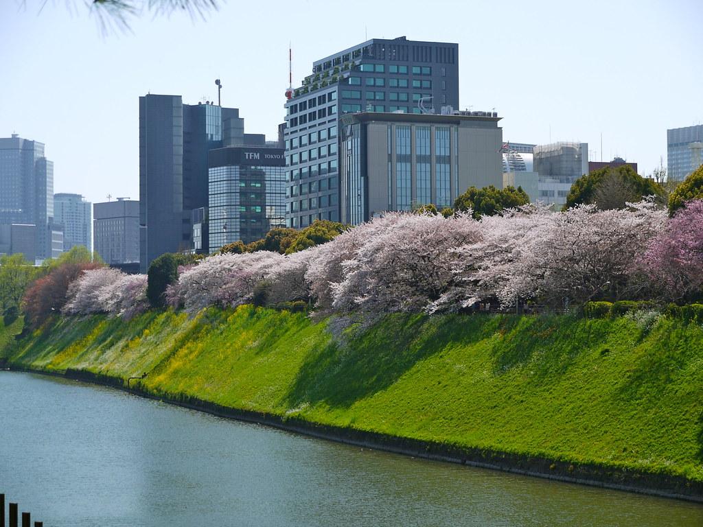 Sakura at Chidorigafuchi Park