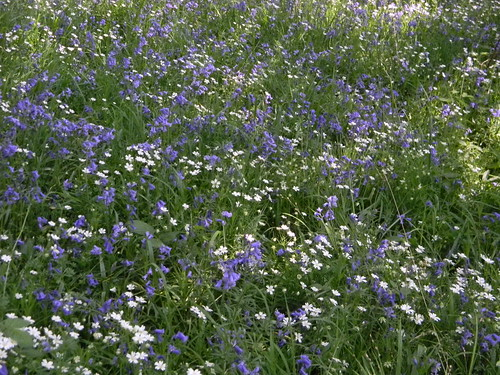 Bluebells and stitchwort