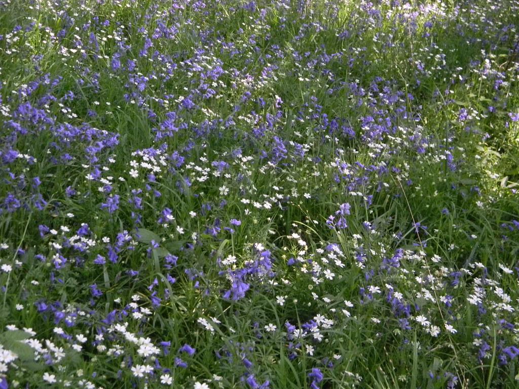 Bluebells and stitchwort Staplehurst to Headcorn