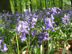 english lavender(0.0), scilla(0.0), woodland(1.0), flower(1.0), garden(1.0), plant(1.0), herb(1.0), wildflower(1.0), flora(1.0), meadow(1.0), hyacinth(1.0),