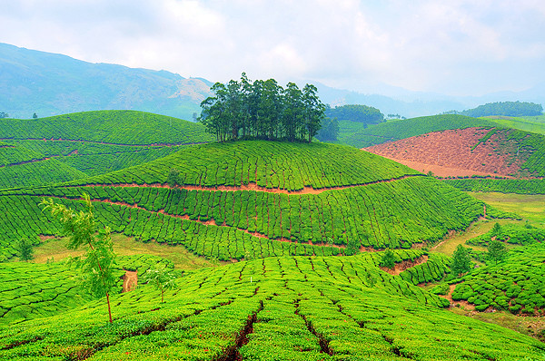 Munnar -Tea Garden