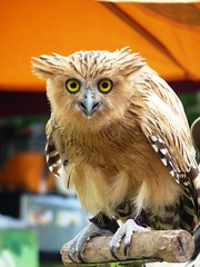 Buffy (the not-so-vampire-slaying) Fish Owl