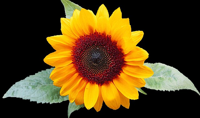 Sunflower with leaves clipart, lge 13 cm wide | This ...