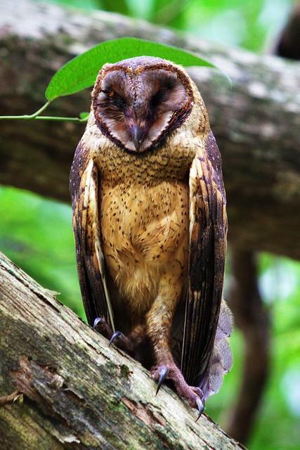 Minahassa Masked Owl (Tyto inexspectata)