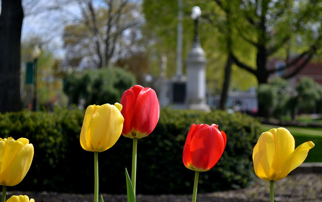 Tulips on the Green
