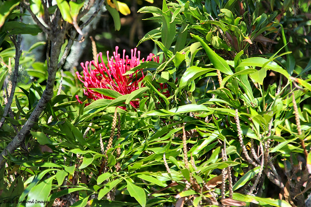 Alloxylon pinnatum - Dorrigo Waratah, Tree Waratah, Waratah Oak - Pukekura Park, New Plymouth, New Zealand