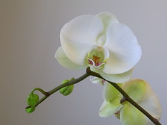 flower, plant, macro photography, phalaenopsis equestris, flora, moth orchid, close-up, plant stem, petal,