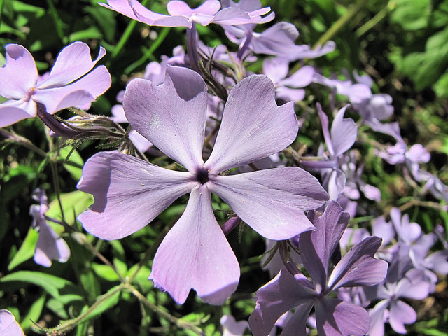 common wild blue phlox