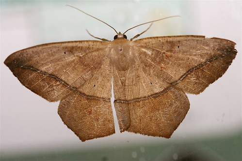 moths geometridae ennominae leps prochoerodes largemaplespanworm osceolanf