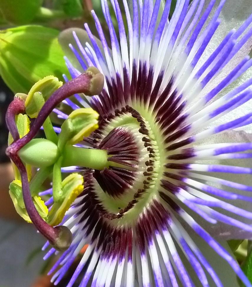 Passiflora HDR -- passion-flower