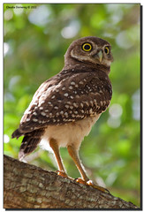 Young Burrowing Owl in a Tree
