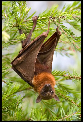 Flying Fox in tree on footpath