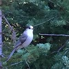 Grey Jay aka Whisky Jack