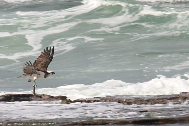 Flickr photo sharing for Osprey catching fish