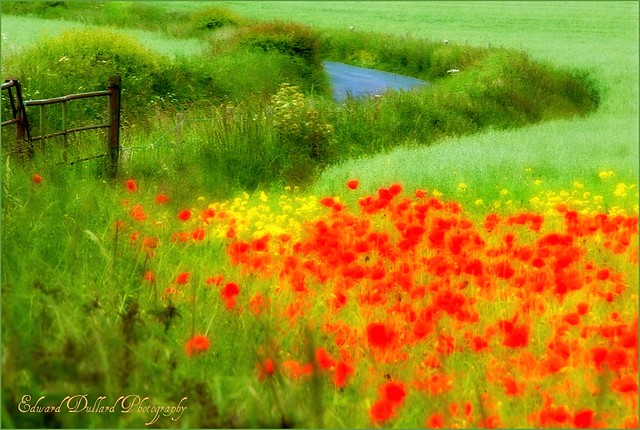 IMPRESSIONS OF A FIELD OF POPPIES.