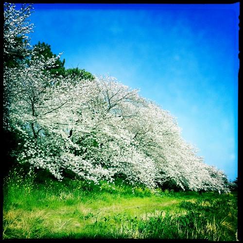 sakura cherryblossoms iphone someiyoshino iphone4 hipstamatic