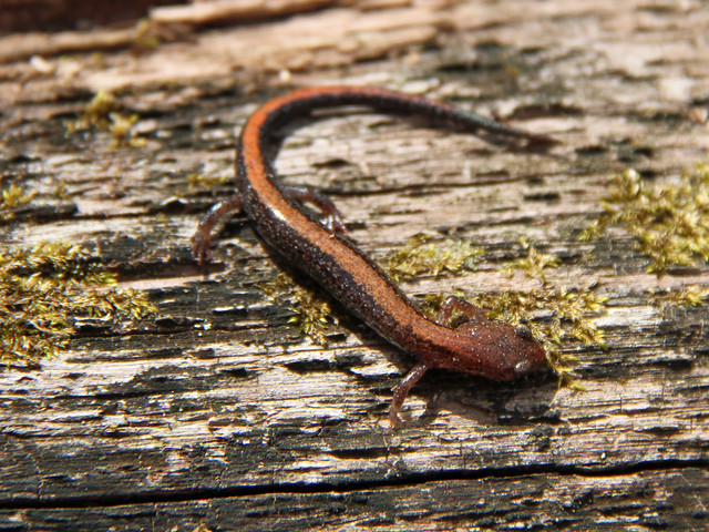 Header of Southern Red-Backed Salamander