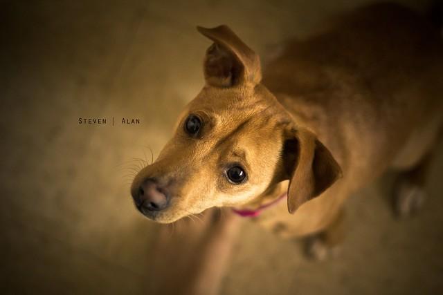Small Dog Pointy Ears Big Eyes