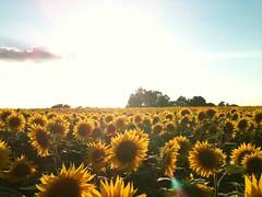 sunflowers 1 - Photo of Auty