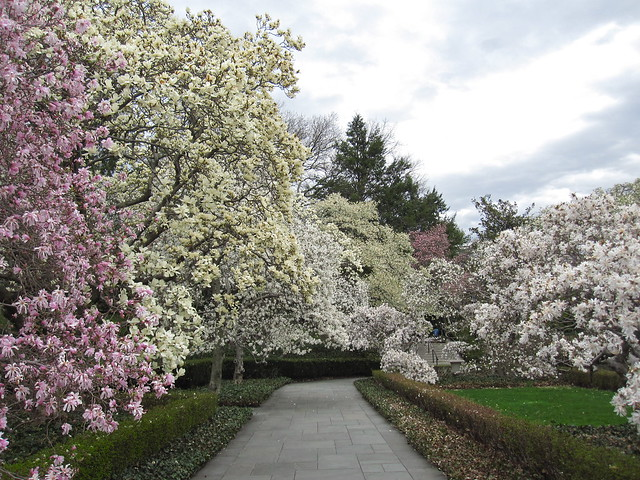 Magnolia Plaza in bloom. Photo by Rebeca Bullene.