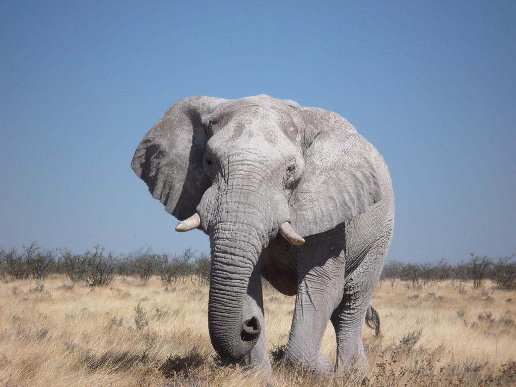 слон бивни фото