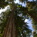 California redwood, Sequoia sempervirens