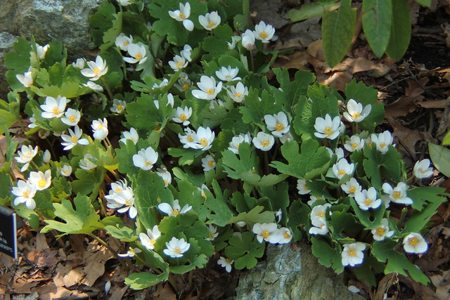 Sanguinaria canadensis (bloodroot) blooms in the Native Flora Garden. Photo by Rebecca Bullene.