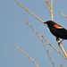 Red-Winged Blackbird by Chad Horwedel