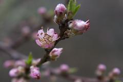 20110426 - Peach Blossoms