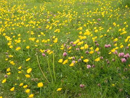 Buttercups and clover in meadow