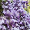 Lush Wisteria Blossoms