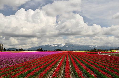 red clouds vanishingpoint washington spring nikon tulips skagit skagitvalleytulipfestival fantasticnature d7000 redrows landinglightsforbees redrowsoftulips