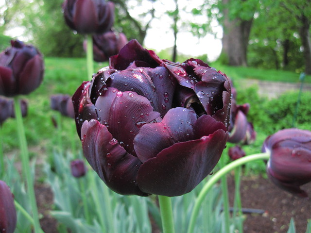 Tulipa 'Black Hero' blooms on Lily Pool Terrace. Photo by Rebecca Bullene.