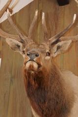 animal, antler, deer, trophy hunting, horn, fauna, elk, wildlife,