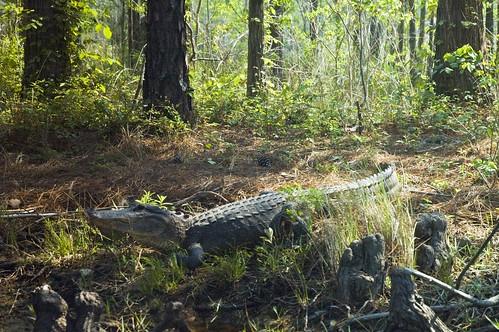 farm alligator
