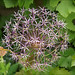 Star of Persia (Allium christophii)