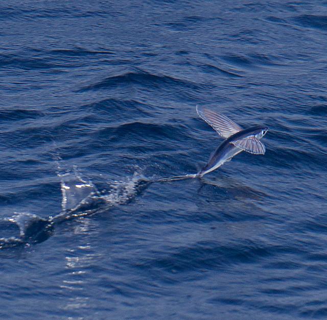 flying fish by cacodaemonia - photo #2