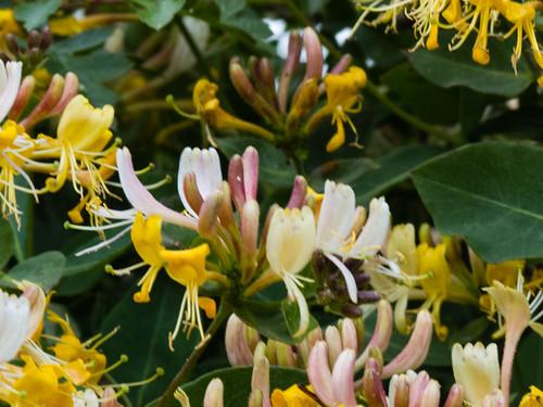 Honeysuckle flowering