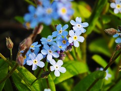 Myosotis / Forget me not