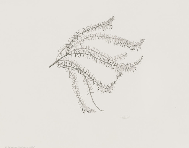 "Martha G. Kemp, Erica carnea 'Springwood White', 2010. Rock Garden. Graphite pencil on Strathmore 500 Series Bristol 2-ply plate finish. 11"" x 14""."