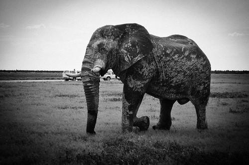 Elephant, Etosha NP