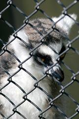 Ring-tailed Lemur - 26