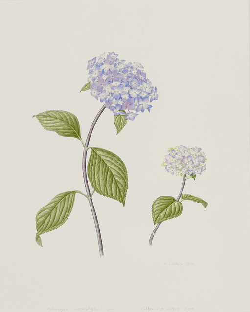 "Catherine Watters, Hydrangea  macrophylla 'Nigra', 2010. Perennial Border.  Watercolor on Strathmore 500 series Bristol vellum surface. 20"" x16""."