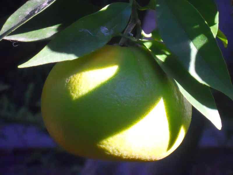 Citrus sinensis 'Navelina' 1