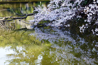 Pond and cherry blossom