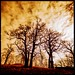 Oaktrees in redscale