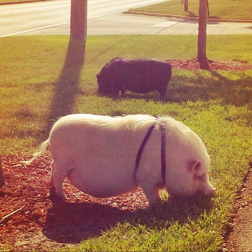 What a random sight! Zachary and I just saw two Vietnamese potbellied pigs hanging out at Veterans Park in Tamarac!